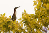 """Green Heron in Tree"" -<br /> POTD - Animals Category - 08/05/2009 - <a href=""http://www.digitalphotonut.com"">http://www.digitalphotonut.com</a>"