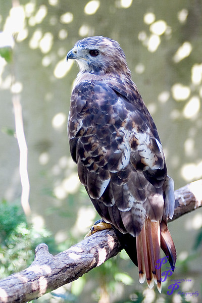 """""""Red-Tail""""<br /> <br /> This Red-Tailed Hawk resides at the Scovil Zoo in Decatur, IL.<br /> <br /> POTD - Animals Category - 10/22/2007 -  <a href=""""http://www.digitalphotonut.com"""">http://www.digitalphotonut.com</a>"""