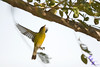 """Magnolia Warbler in Flight""<br /> <br /> POTD - Animal Category - 12/29/2007 -  <a href=""http://www.digitalphotonut.com"">http://www.digitalphotonut.com</a><br /> POTD - Animal Category - 01/07/2008 -  <a href=""http://www.shutterbugs.biz"">http://www.shutterbugs.biz</a>"