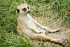 "<p>""This is the Life""!</p> <p> This Meerkat was enjoying the good life at the Scovil Zoo in Decatur Illinois. </p> <p> POTD - Animal Category - 10/21/2007 - www.digitalphotonut.com </p>"