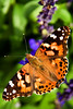 """Painted Lady"" - <br /> Monthly Finalist - Details and Macro Category - September 2008 - <a href=""http://www.betterphoto.com"">http://www.betterphoto.com</a><br /> 2nd Place - Details and Macro Category - September 2008 - <a href=""http://www.betterphoto.com"">http://www.betterphoto.com</a><br /> POTD - Macro Category - 10/39/2008 - <a href=""http://www.digitalphotonut.com"">http://www.digitalphotonut.com</a>"