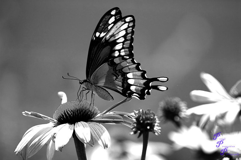 """Stained Glass Wings""<br /> <br /> POTD - Black & White Category - 08/21/2007 -  <a href=""http://www.digitalphotonut.com"">http://www.digitalphotonut.com</a>"
