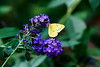 """On the Butterfly Bush"" - <br /> <br /> POTD - Macro Category - 11/28/2007 -  <a href=""http://www.digitalphotonut.com"">http://www.digitalphotonut.com</a>"