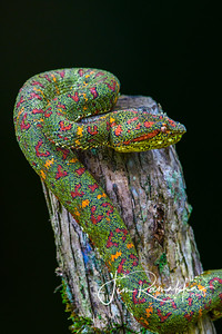Green Eyelash Viper