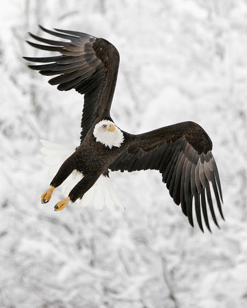 Snowy Eagle - This image won 2nd Place in the 2006 Anchorage Fur Rendezvous Photo Competition, Color Wildlife Division