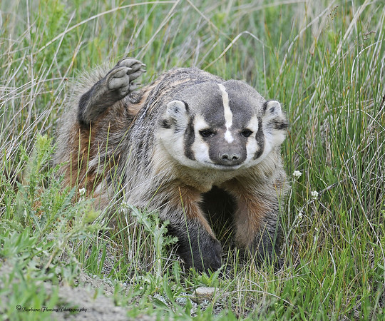 North American Badger Scratching