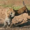 African Leopard Pair