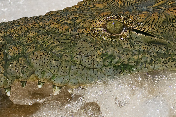 """Nile Crocodile, Winner in """"Closeup-A Part of the Whole"""" Summer Exhibit, The Wildlife Experience Museum, Denver, Colorado, 2011"""