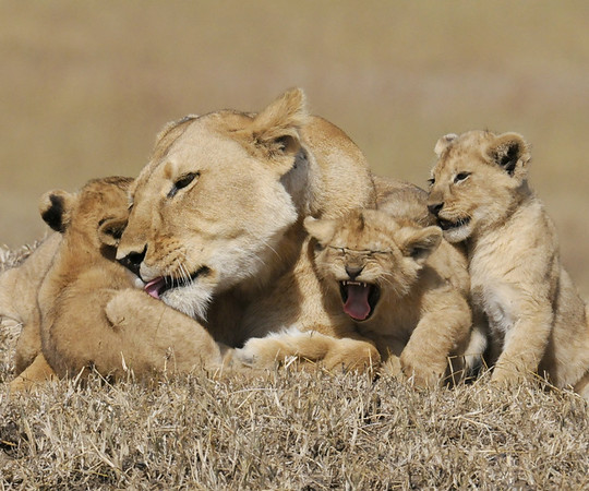 African Lioness with her Cubs,; 2008;  Honorable Mention, Defenders of Wildlife 2011