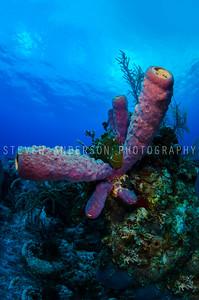 Purple Tube Sponge