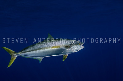 Pacific Yellow Fin Tuna