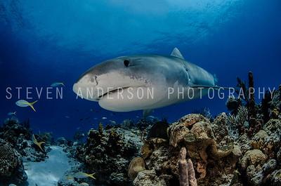 Emma the Tiger Shark