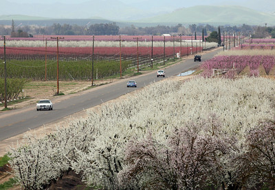 FRESNO COUNTY,CA-- MTD TAO BLOSSOM 4 --- These trees  are just coming into bloom on Kings Canyon on Tuesday, March 4, 2009. The blossom season begins in February and runs through March. Tomas Ovalle/ The Fresno Bee