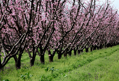 FERSNO COUNTY,CA-- MTD TAO BLOSSOM 9 --- These peach trees  are just coming into bloom on Mendocino Avenue on Tuesday, March 4, 2009. The blossom season begins in February and runs through March. Tomas Ovalle/ The Fresno Bee