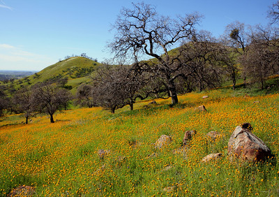 FRESNO,CA--- MTD TAO FIELD OF DREAMS--- A field of fiddlenecks above Millerton Lake form a golden carpet on Sky Harbor Road on Tuesday, Feb. 24, 2009. Wildflowers are making their appearance on the Valley's hills and fields. Tomas Ovalle/ The Fresno Bee