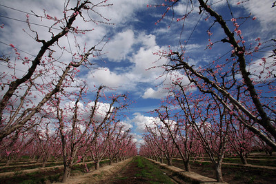 FERSNO COUNTY,CA-- MTD TAO BLOSSOM 2 --- These peach trees  are just coming into bloom on Mendocino Avenue on Tuesday, March 4, 2009. The blossom season begins in February and runs through March. Tomas Ovalle/ The Fresno Bee