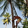 COCONUT PLUCKER MARCELLO IN THE COCONUT TREE. MACEIO. ALAGOAS.