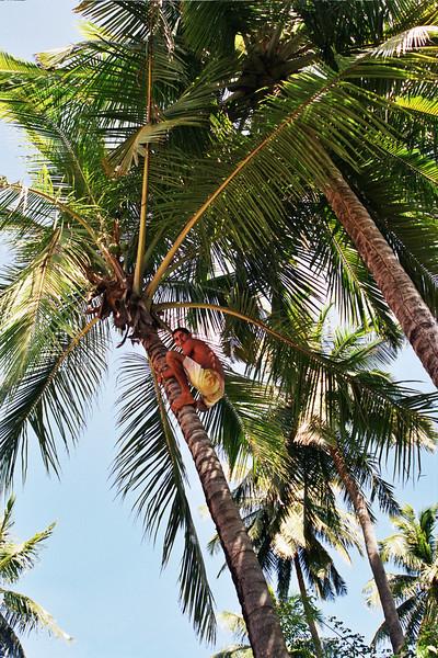 COCONUT PLUCKER MARCELLO IN THE COCONUT TREE. MACEIO. ALAGOAS.