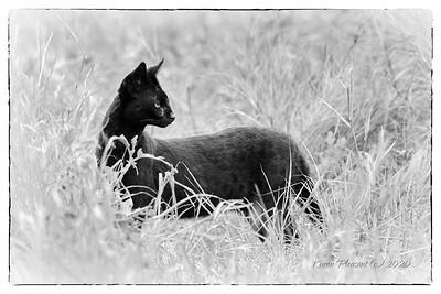 Melanistic serval