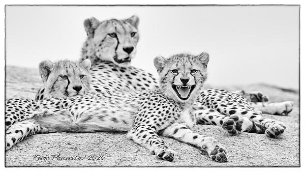 Cheetah cub with attitude!