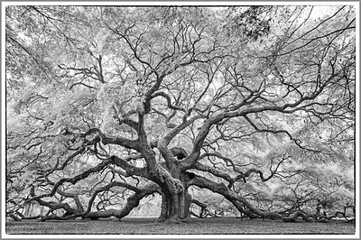 Angel Oak, John's Island, South Carolina