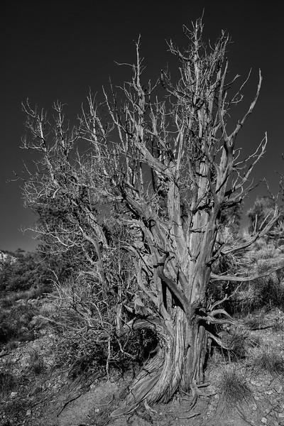 Old Tree, Sedona, Oak Creek vicinity