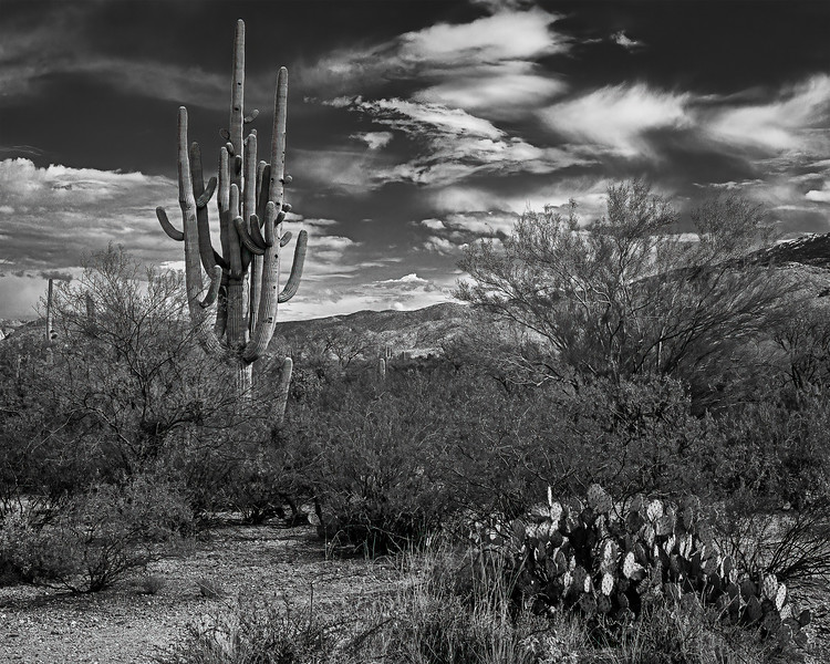 Maybe the best Saguaro cactus in Tucson