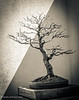 """Between Darkness and Light"" - nameless Bonsai tree at USA National Arboretum, Washington DC, Spring 2013"