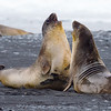 Elephant Seals in Discussion