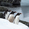Gentoo Penguins on Watch