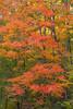 Sipsey Maple Tree