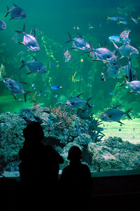 Sydney Aquarium is a public aquarium located in the city of Sydney, New South Wales, Australia. It is located on the eastern (city) side of Darling Harbour to the north of the Pyrmont Bridge. The aquarium contains a large variety of Australian aquatic life, displaying more than 650 species comprising more than 6,000 individual fish and other sea and water creatures from most of Australia's water habitats.  Its key exhibits are a series of underwater, see-through, acrylic glass tunnels where sharks swim above visitors, and recreation of a Great Barrier Reef coral environment.