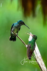 White-necked Jacobin and Rufous-tailed Hummingbird