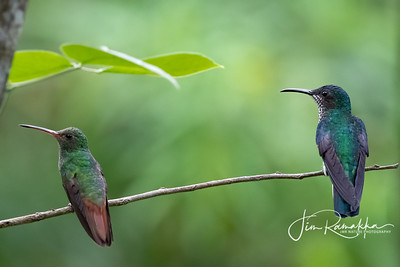 Rufous-tailed Hummingbird and White-necked Jacobin