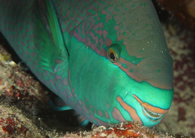 Parrotfish - St John's Reef, Egypt Nov 2010
