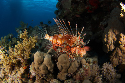 Lion fish - St John's Reef, Egypt Nov 2010
