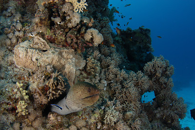 Moray eel portrait - St John's Reef, Egypt Nov 2010