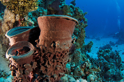 Barrel sponge - St John's Reef, Egypt Nov 2010