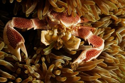Neopetrolistes maculatus - Porcelain crab