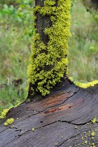Wolf Lichen on Wet Deadfall