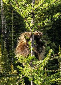 Porcupine Feast
