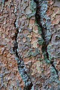 Ponderosa Pine Puzzle