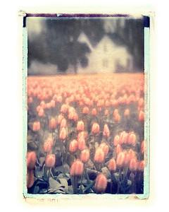 #264 Skagit Valley tulips