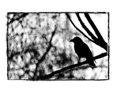 #226 Blackbird, black and white