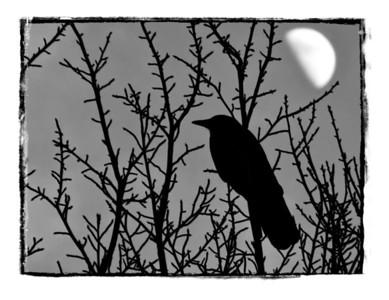 #245 Blackbird