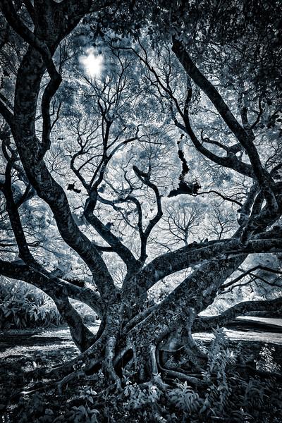 #CM1206 Molokai Banyan Tree