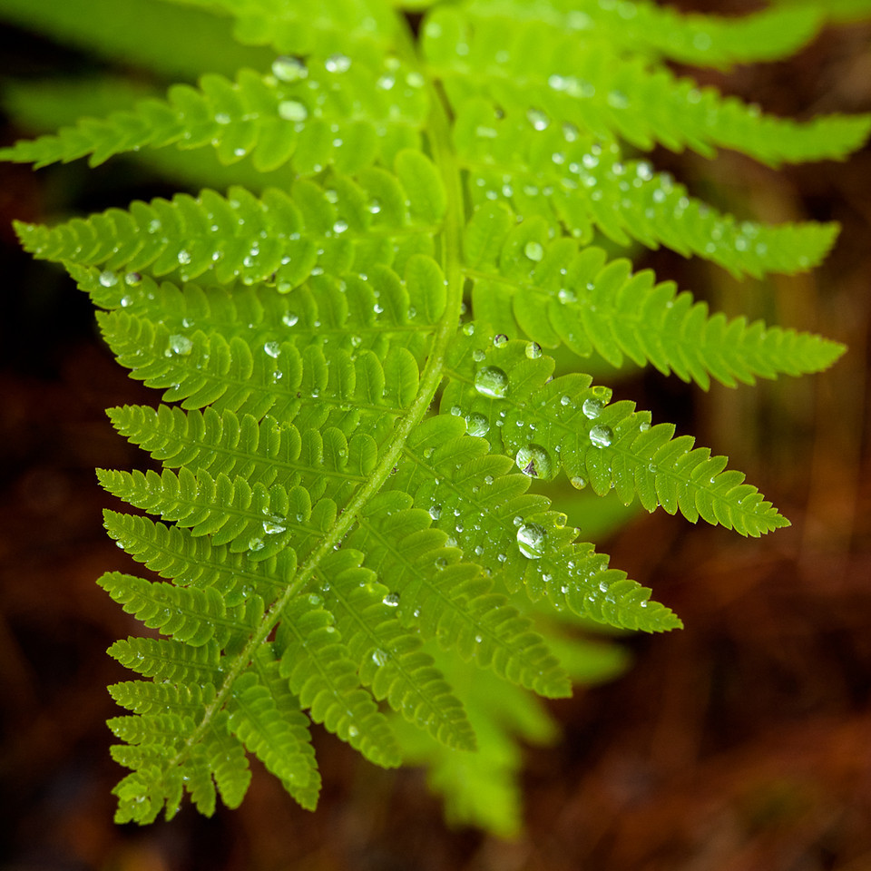 Raindrops on an ostrich fern on a foggy day.