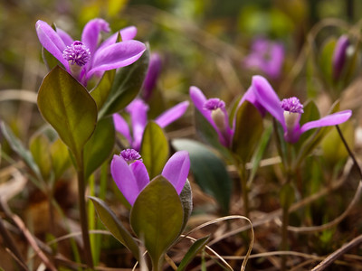 fringed polygala - one of my favorite wildflowers, they seem to be engaged in a game of Blind Man's Buff.  Found in the Musquash, where else?