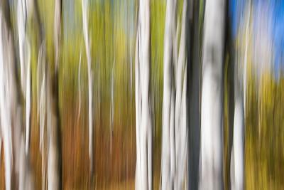 Poplars, Birds Hill Provincial Park, Manitoba