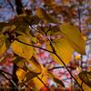 Hobblebush in autumn